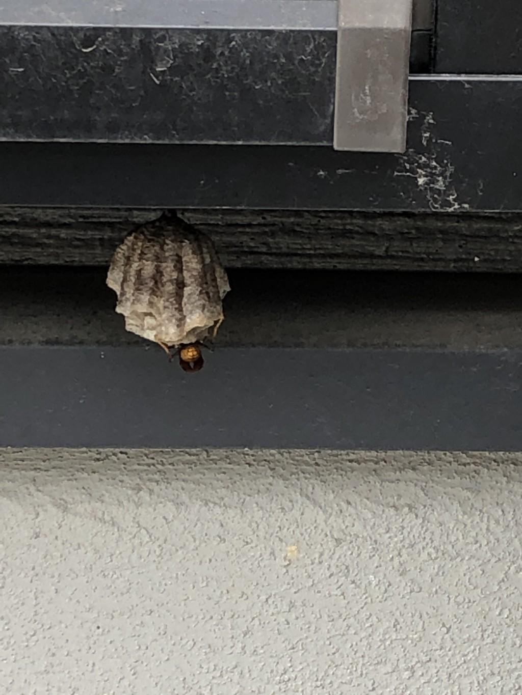 【松山市土居田町】アシナガバチ駆除、即日駆けつけ! お客様の声