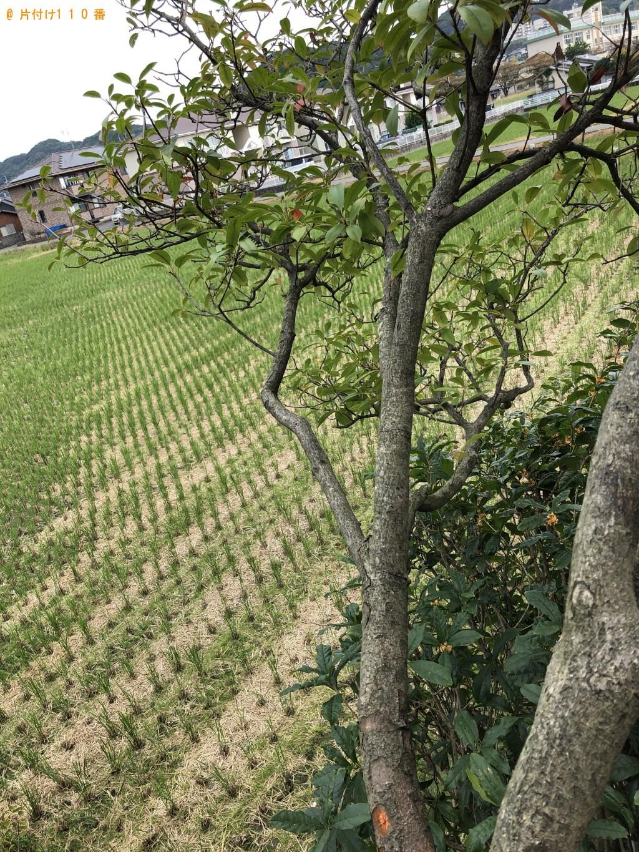 【水巻町】ベニカナメモチの生垣の剪定 お客様の声