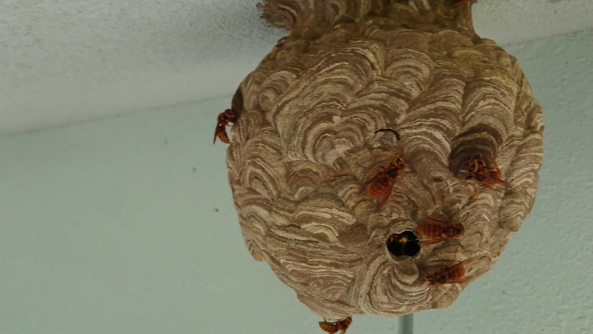 40cmクラスの巨大なスズメバチの巣の駆除
