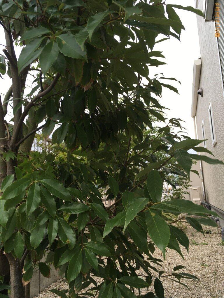 紅葉の木の剪定